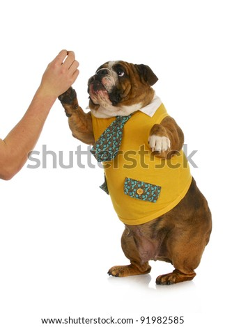 high five - hand of person giving high five to english bulldog standing - stock photo
