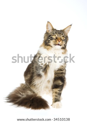High five Maine Coon kitten on white background - stock photo