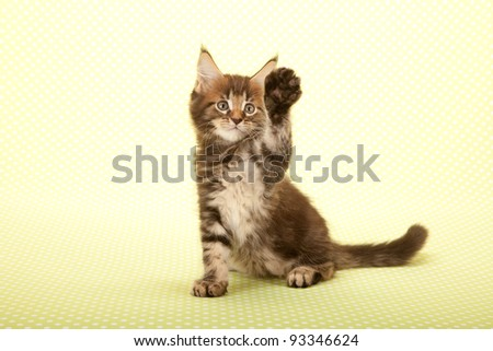 High Five waving Maine Coon kitten sitting on green background