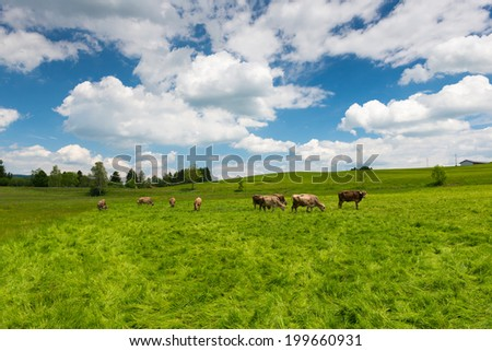 high grass meadow with grazing cows at sunny springtime day - stock photo