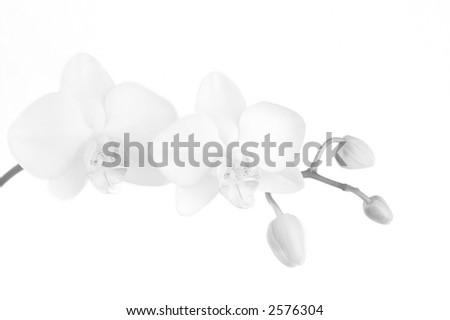 High-key flower (phalaenopsis) - stock photo