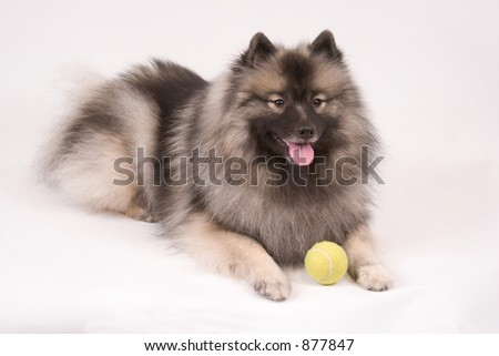 High key portrait of a young female Keeshond dog with tennis ball - stock photo