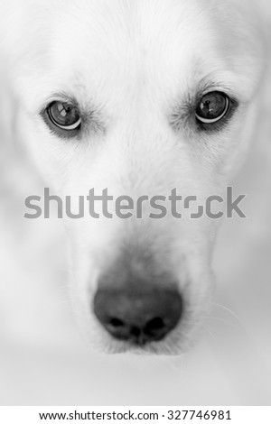 High key portrait of Golden Retriever - stock photo