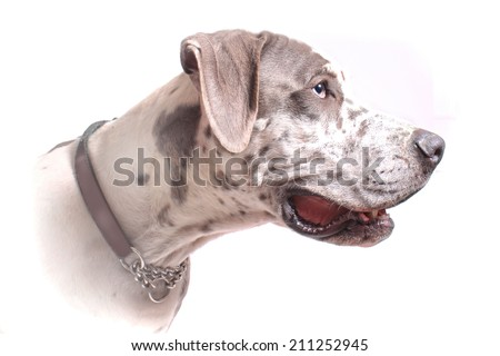 High key profile portrait of a Great Dane fading into a  white background