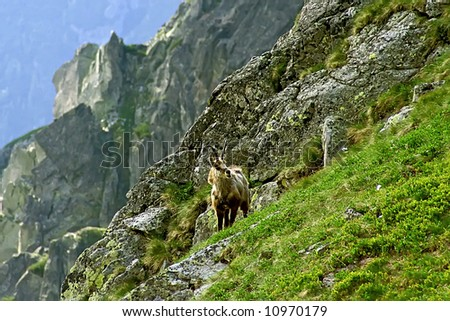 High mountains in the Europe. Landscape with mountain pastures and chamois.