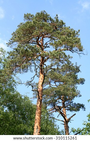 High pine in the reserve Bialowieza Forest in Belarus