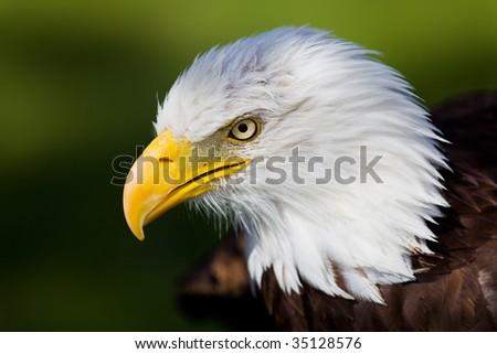 High resolution bald eagle portrait - stock photo