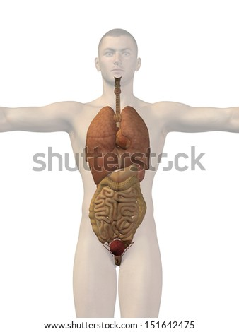 High resolution concept conceptual 3D human man structure with internal organs,digestive,lungs and circulatory system isolated on white background,metaphor to anatomy,body,medical,health or biological