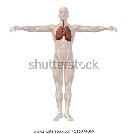 High resolution concept or conceptual anatomical human or man 3D respiratory system isolated on white background as metaphor to anatomy,medical,biology,health,heart,lung,medicine,cardiology or care - stock photo