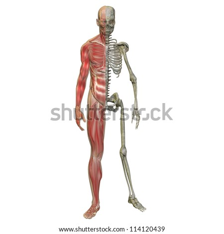 High resolution concept or conceptual 3d male or man running over a white background as a metaphor for anatomy,body,biology,medicine,muscle,bones,muscular,anatomical,science,education,sport or x-ray - stock photo