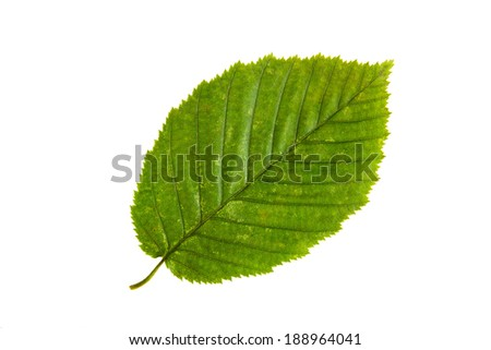High Resolution green leaf of elm tree isolated on white background - stock photo