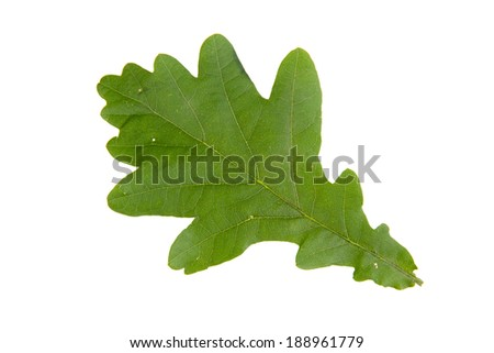 High resolution green leaf of oak isolated on white background - stock photo