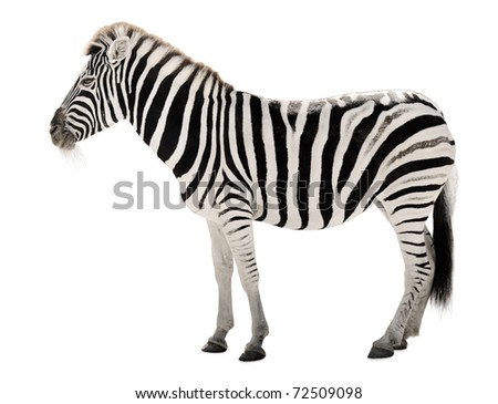 High resolution isolated animal portrait of a gorgeous zebra - stock photo