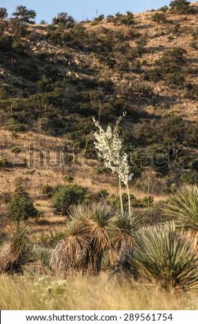 High white flowering stalk desert vegetation creamy white stock high white flowering stalk of desert vegetationcreamy white blooms of tall stem of mightylinksfo