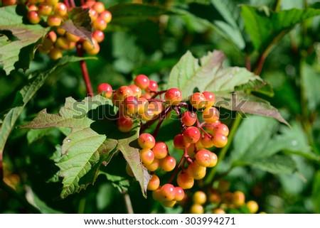 Highbush Cranberry (Viburnum opulus var. americanum) Fruit and Leaves - stock photo