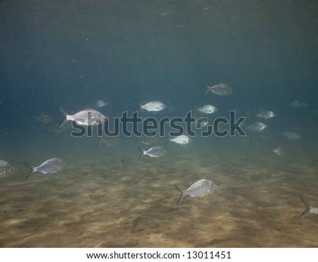 highfin rudderfish (kyphosus cinerascens) - stock photo