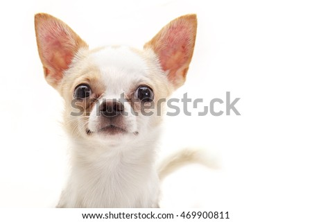 Highkey photograph of cute Chihuahua face looking right at you with white background