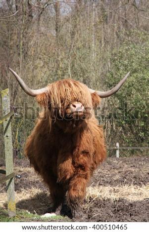 highland beef - stock photo
