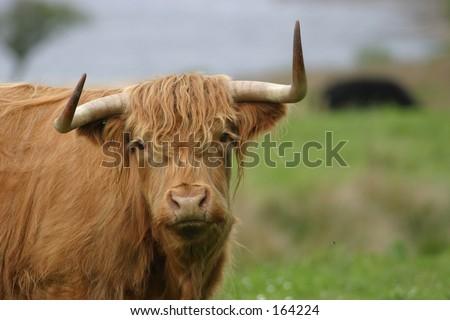 Highland breed cow, Scotland - stock photo