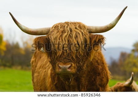 Highland bull. Highland cattle or kyloe are a Scottish breed of beef cattle with long horns and long wavy coats which are colored black, brindled, red, yellow or dun. - stock photo