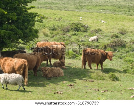 highland cattle in dartmoor