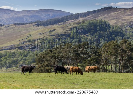 Highland cattle is typical symbol of Scottish Highlands  - stock photo