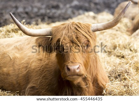 Highland cattle laying in the hay.