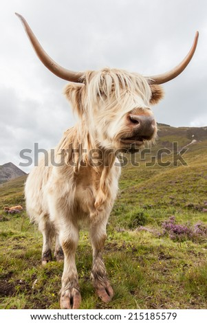 Highland cattle or Scottish cattle photographed on Isle of Skye - stock photo