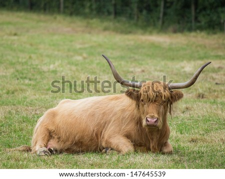 highland cattle with large horns at rest - stock photo