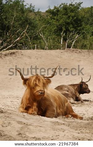 highland cattle, zuid kennemerland, Netherlands - stock photo