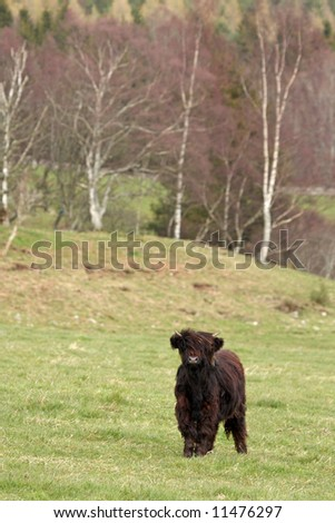 Highland cow calf, near Ballater, Royal Deeside, Scotland