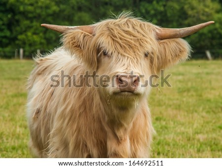 Highland Cow / Cattle  - stock photo