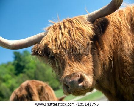 Highland cow closeup - stock photo