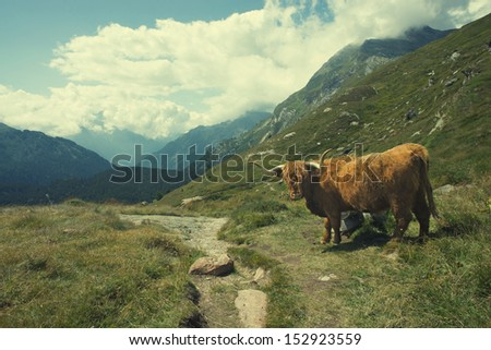 Highland cow in alpine landscape - stock photo