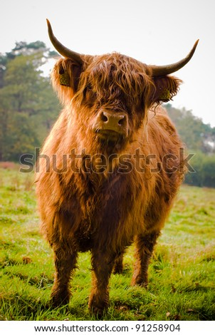 Highland Cow in field showing his long hairs