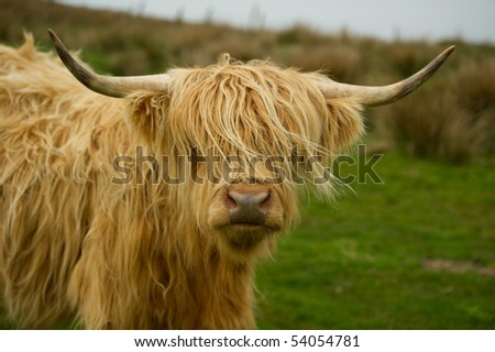 Highland cow in field with copy space,