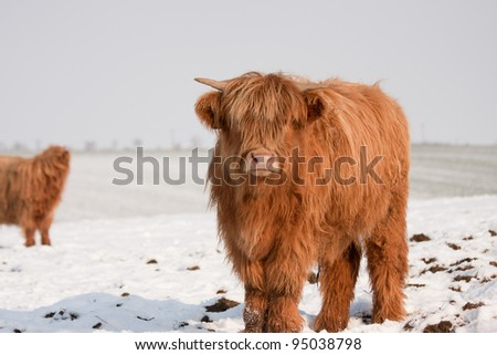 Highland cow in snow - stock photo