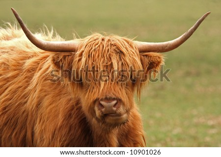 Highland Cow just South of Aberdeen, Scotland - stock photo