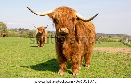 Highland cow standing alert & curious
