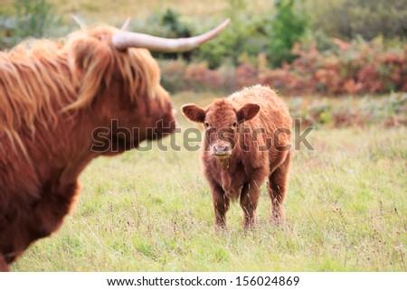Highland Cows - stock photo