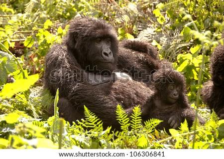 Highland Gorilla mother and young enjoying sun, Rwanda. - stock photo