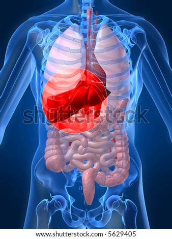 highlighted liver - stock photo