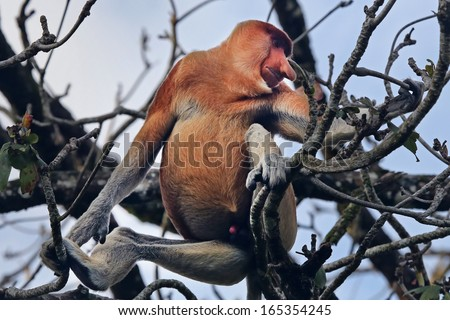 Highly Endangered Proboscis Monkey (Nasalis larvatus) sitting in a tree & looking very pensive in the wild jungles of Borneo. This is a big fat mature male with a huge nose & bright pink erect penis. - stock photo