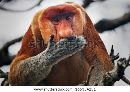 Highly Endangered Proboscis Monkey (Nasalis larvatus) sitting in a tree & putting his hand to his mouth in the jungles of Borneo. This is a big fat mature male with a huge nose & comical expression.