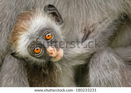 Highly endangered Zanzibar Red Colobus Monkey (Procolobus kirkii) in Jozani Forest on island of Zanzibar (Tanzania, Africa). Mother and baby nurture & bonding. About 1,600 to 3,000 individuals remain.