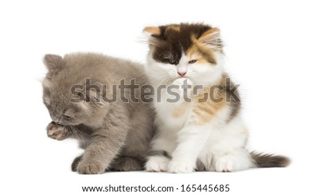 Higland straight and fold kittens sitting, having a wash, isolated on white