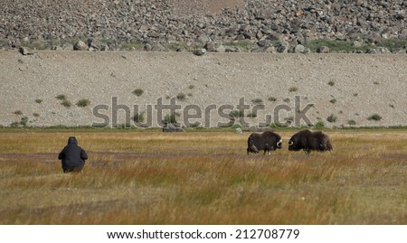 Hiker observing wild musk oxen in arctic valley, Greenland - stock photo