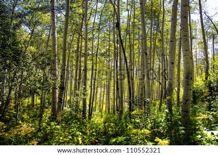 Hiking trail that takes you through aspens in the mid summer / Aspens and the Hiking Trail - stock photo