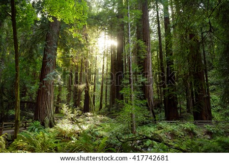Hiking trails through giant redwoods in Muir forest near San Francisco, California, USA - stock photo