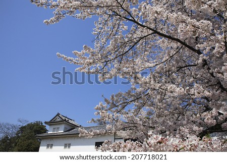 Hikone Castle With Cherry Blossoms